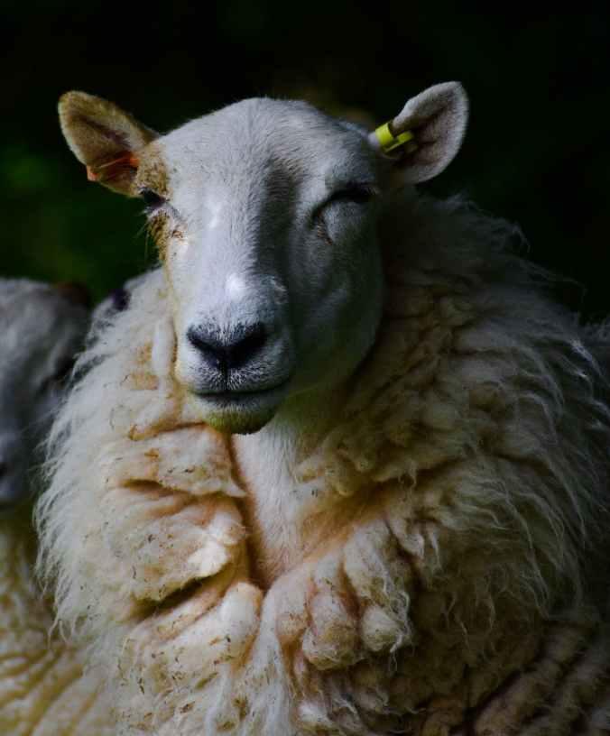shallow focus of sheep