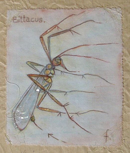bittacus