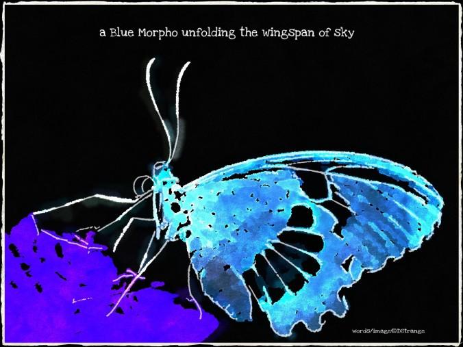Debbie Strange Blue Morpho unfolding Butterflies