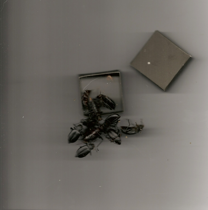 sonja Beetles
