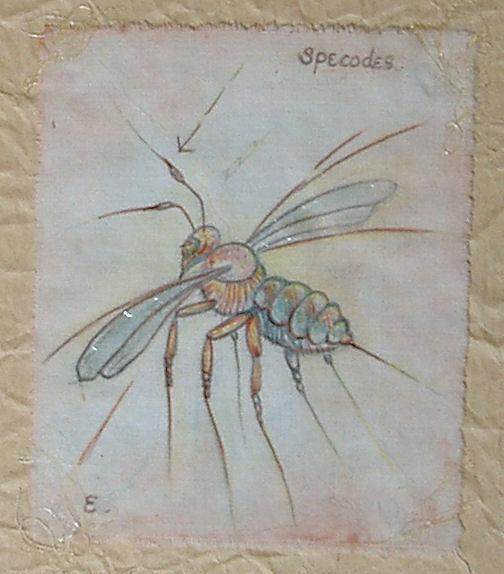 specodes
