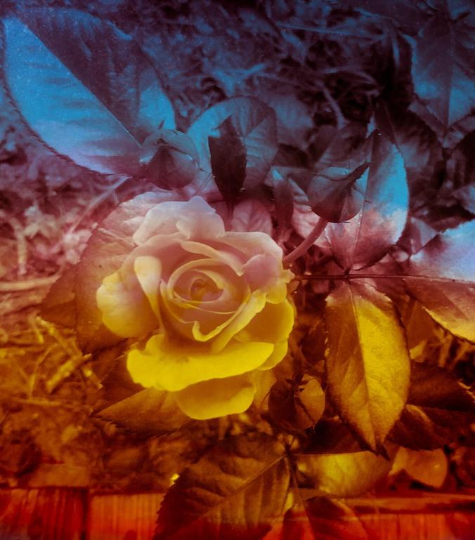 MjS 30 Rose