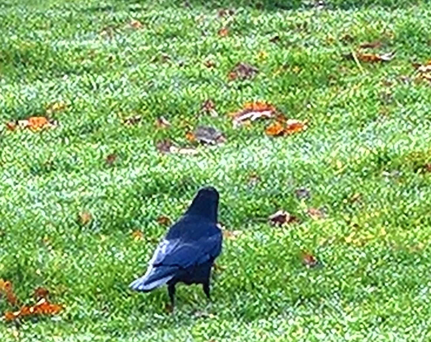 Graveyard Crow (2)