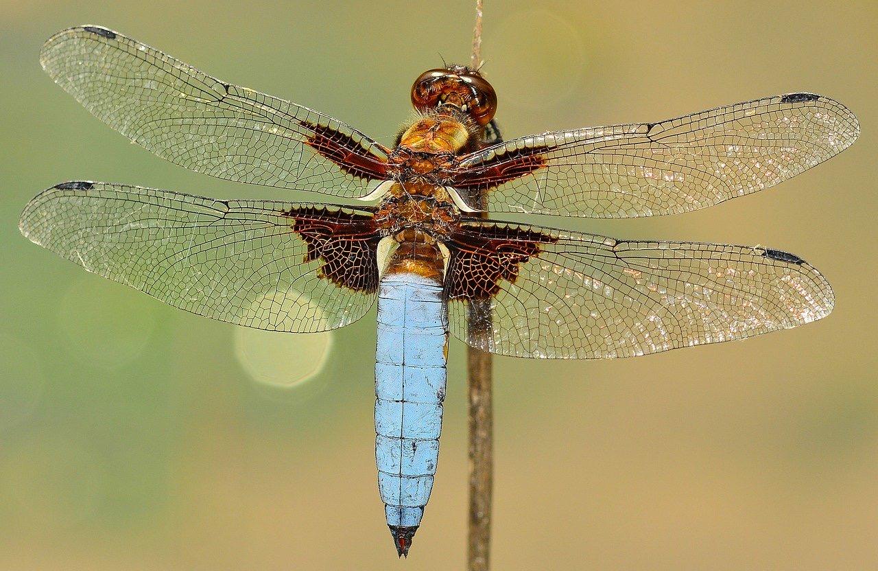 Rachel deering dragonfly