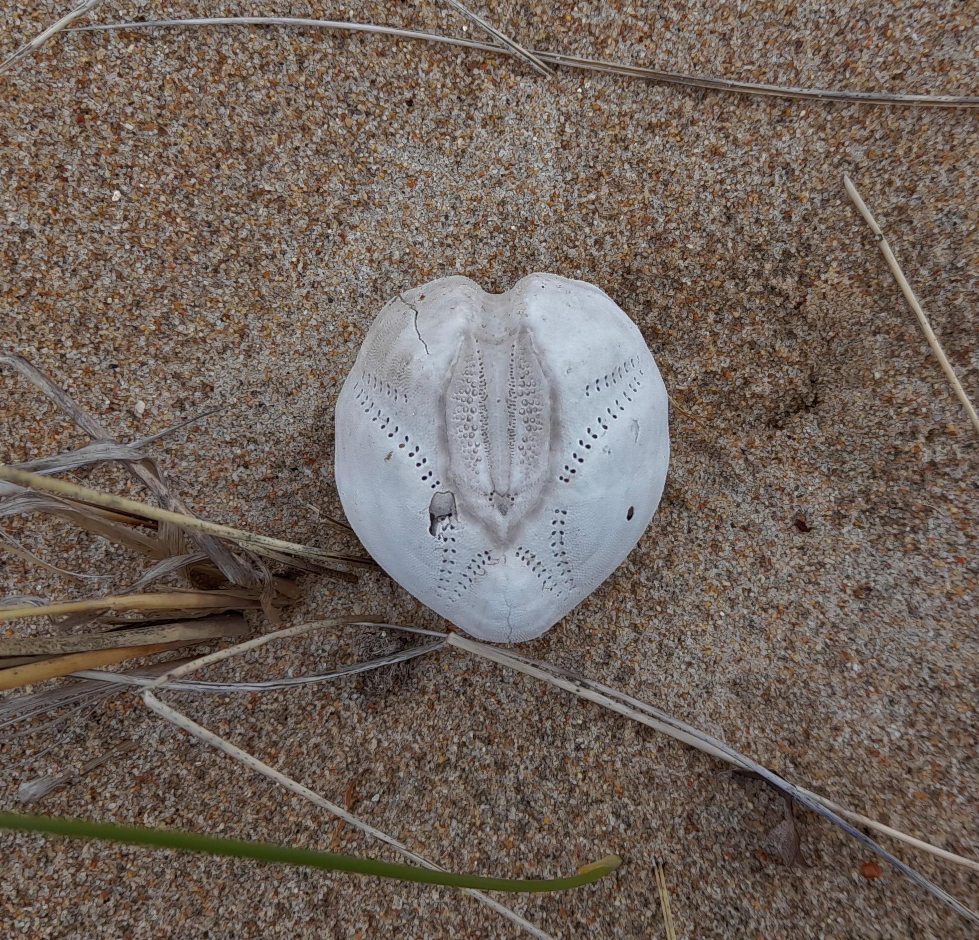 heart urchin
