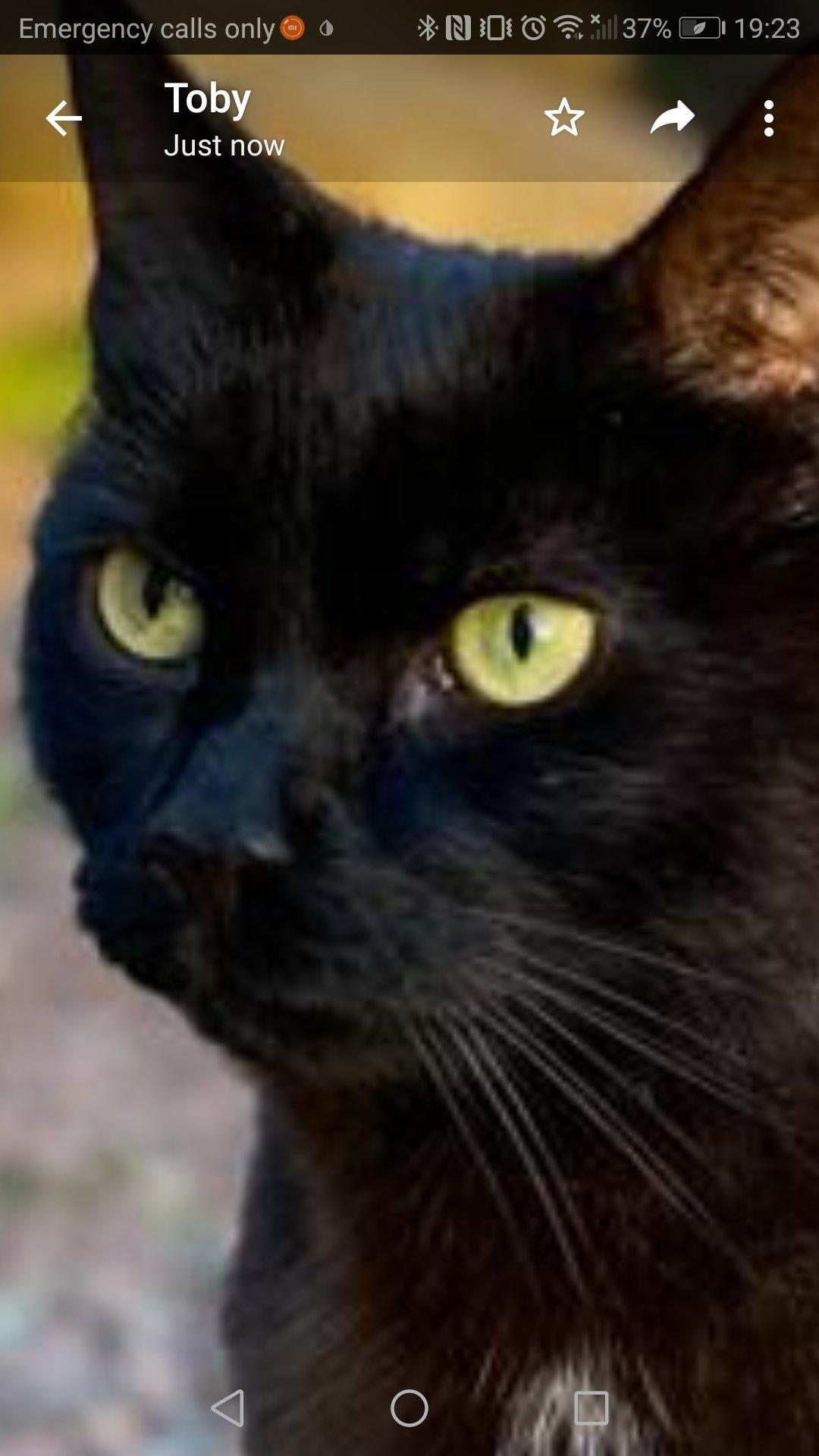 pukeko black cat