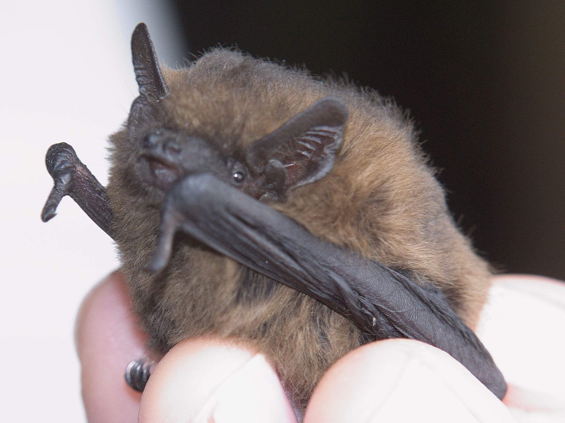 Pipistrellus female-1 pipistrelle